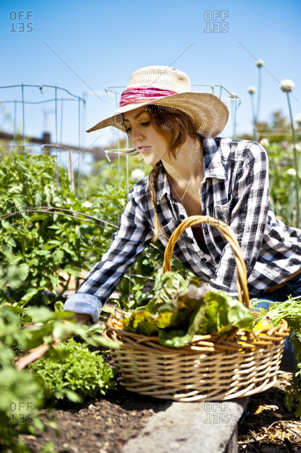 Woman picking vegetables from garden
