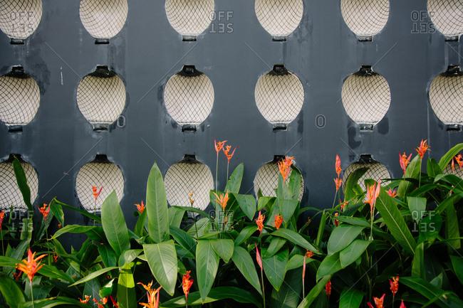 Orange heliconia flowers in bloom