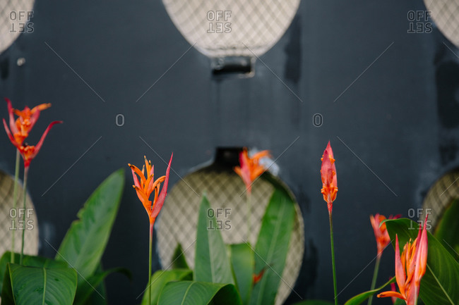 Close up of orange heliconia flowers in bloom