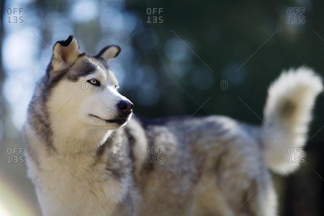 A husky looking around
