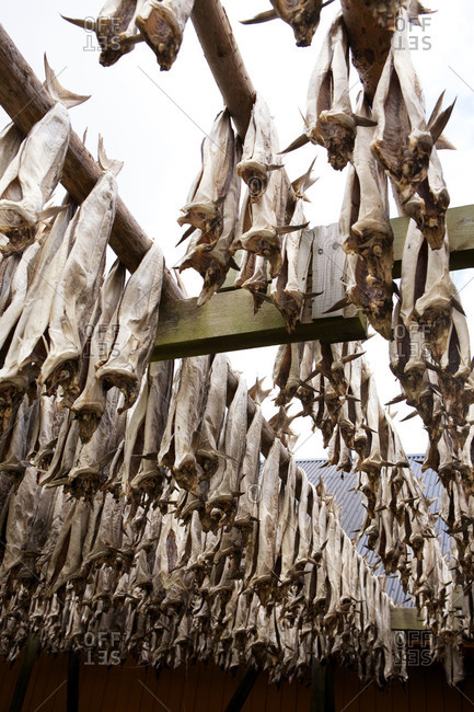 Gutted fish hanging on a drying rack