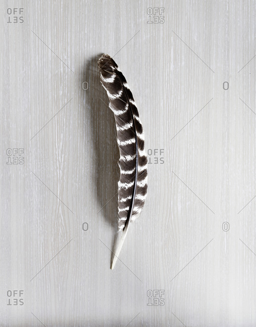 A single owl feather