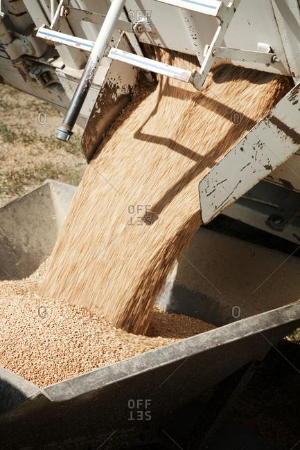 A grain harvester collecting grain