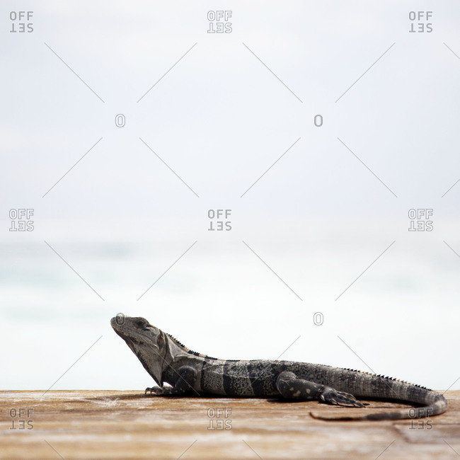 An iguana at the beach