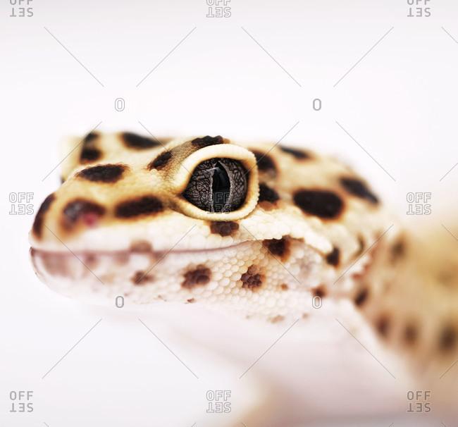 Close up of gecko eye