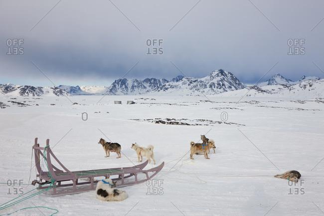 Huskies resting in Kulusuk, Greenland