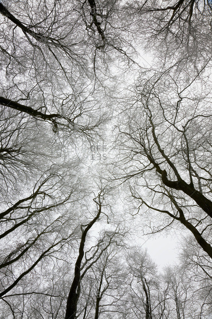 A winter tree canopy in Gloucestershire, UK