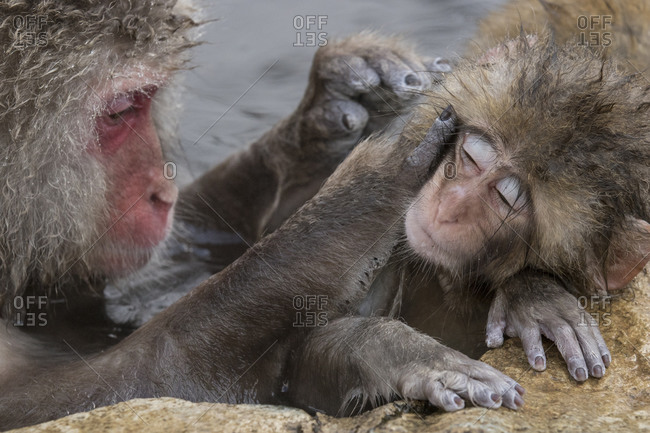 A mother grooming a baby snow monkey
