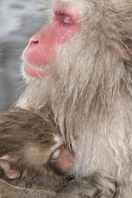 A mother snow monkey nurses its baby
