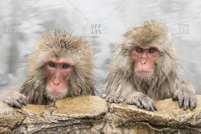 Two macaques on the edge of a hot spring