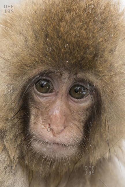 The face of a baby macaque