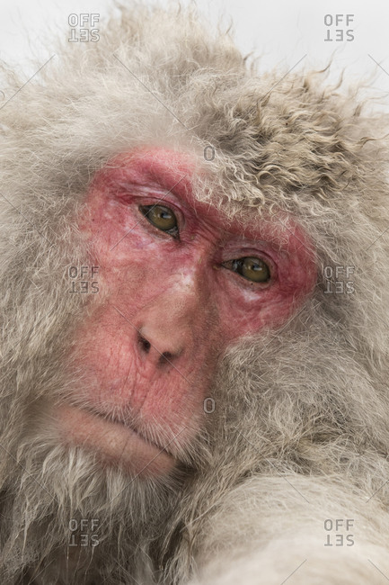 The face of an adult macaque