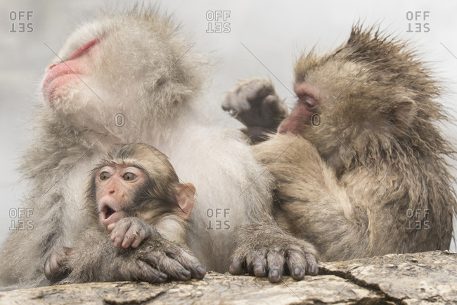 Three macaques at the edge of a hot spring