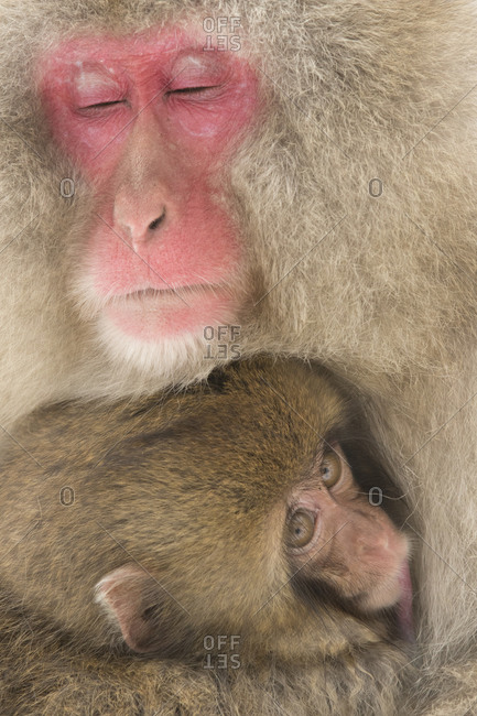 A macaque holds her baby