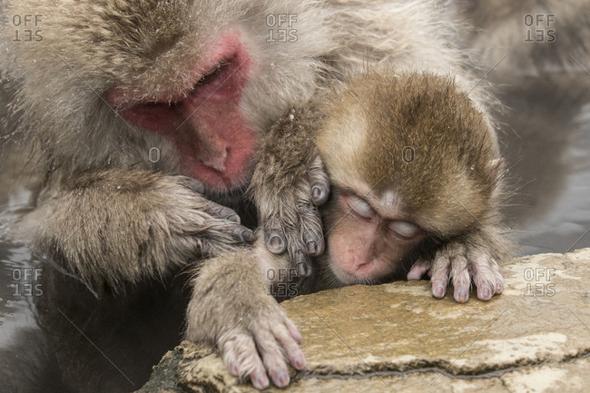 An adult macaque grooms a baby