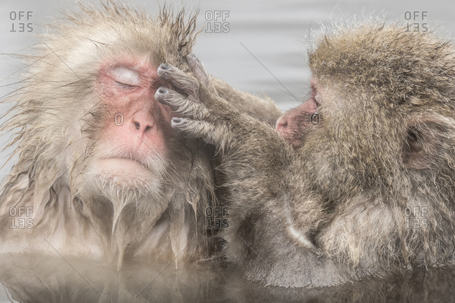 A macaque grooms another