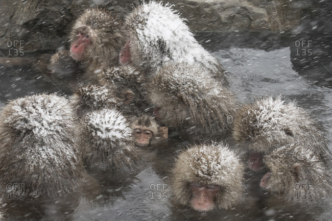 A troop of macaques in a hot spring