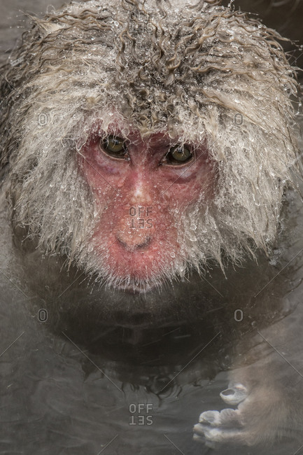 A macaque floating in a hot spring