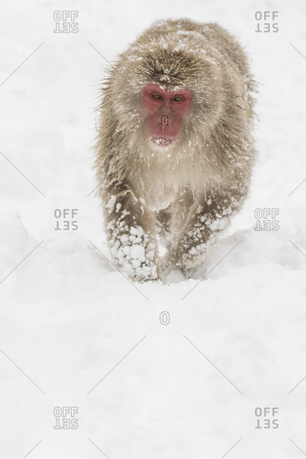A macaque walks through the snow
