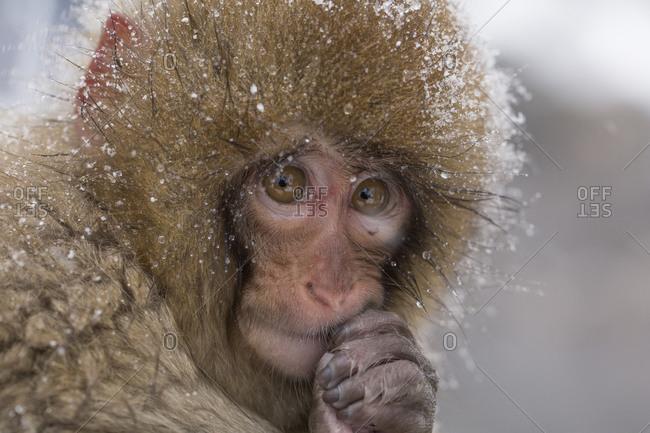 A baby macaque