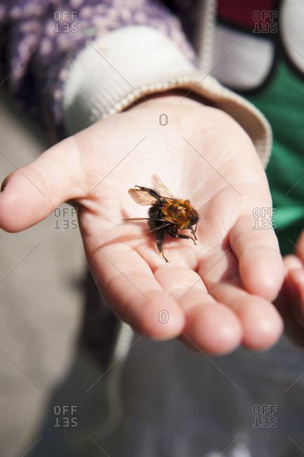 Close up of child holding a bumblebee in her palm