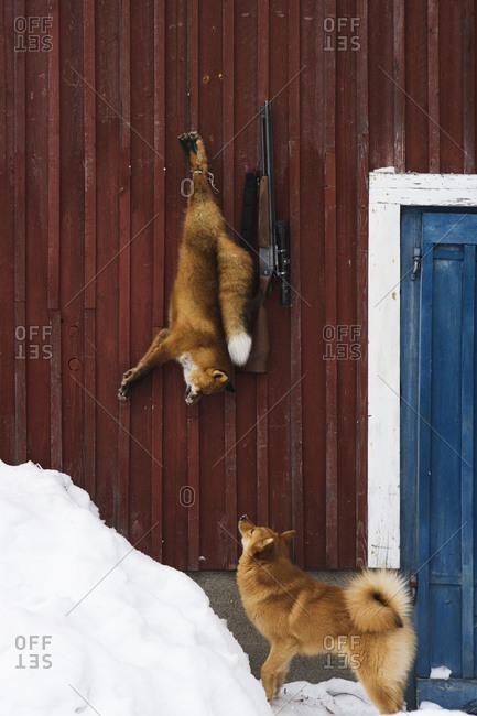 Dog watching a dead fox on a peg