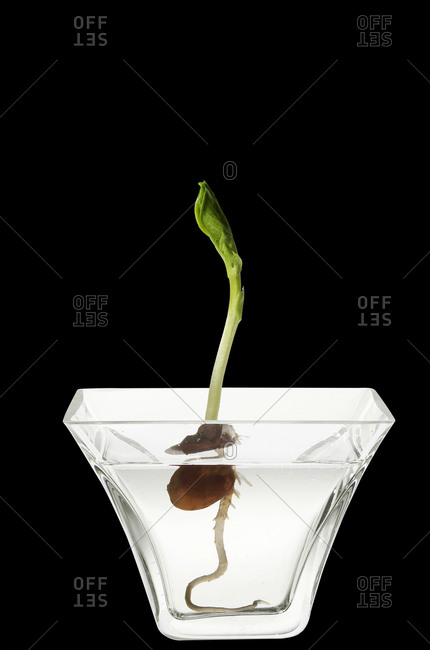 Seedling in a glass