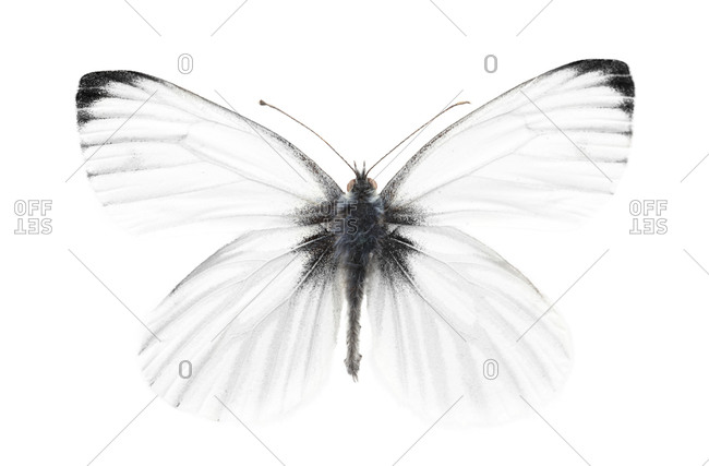 Green-veined white butterfly on white background