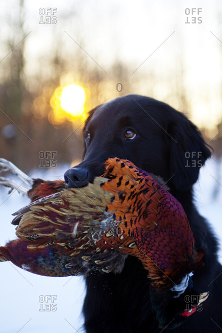 Hunting dog carrying pheasant in mouth