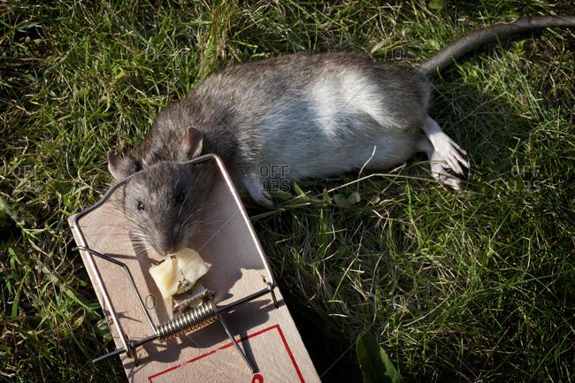 Dead rat in trap