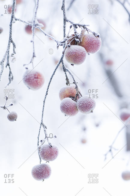 Close up of frozen apples in an orchard