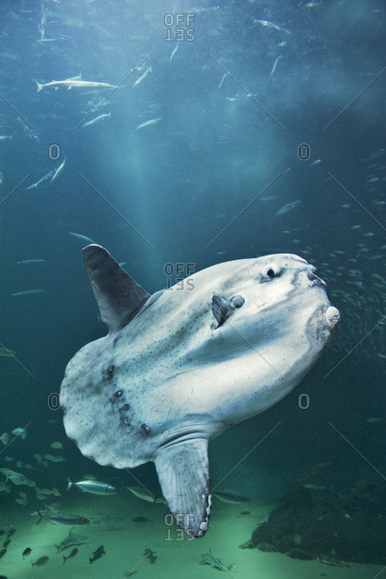 Large sunfish in the ocean