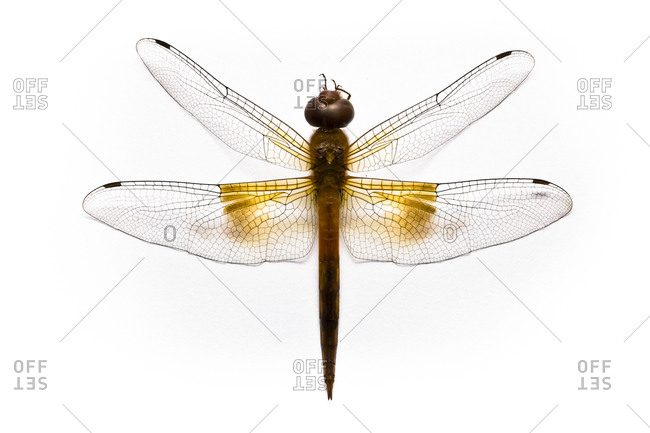 Studio shot of a dragonfly