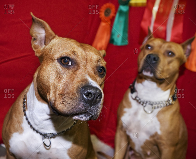 Portrait of two Staffordshire terriers