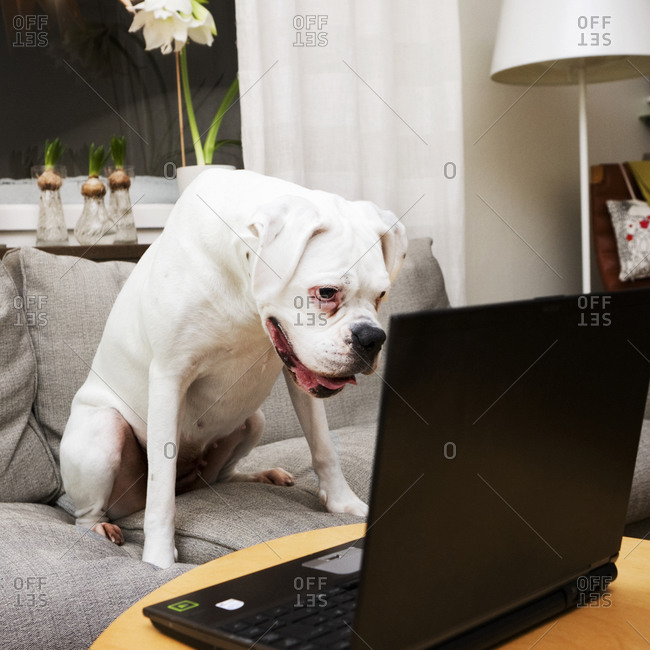 White boxer looking at a laptop