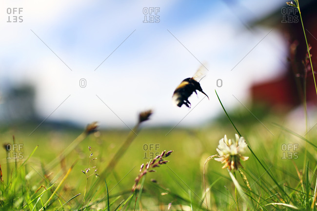 Bumblebee flying in a meadow