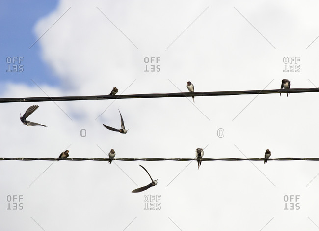 Barn swallows on power line