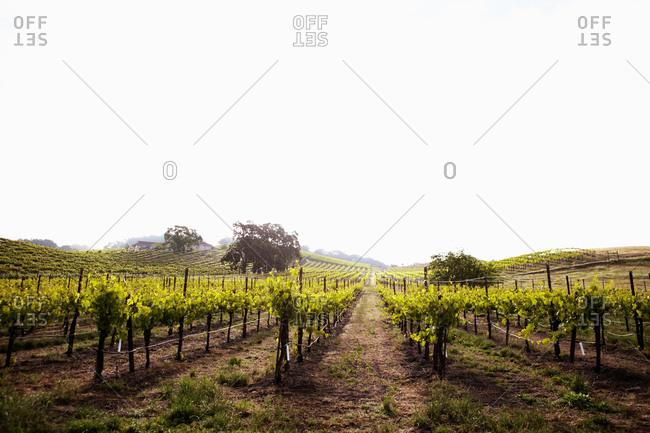 Vineyard in Napa Valley, California, USA
