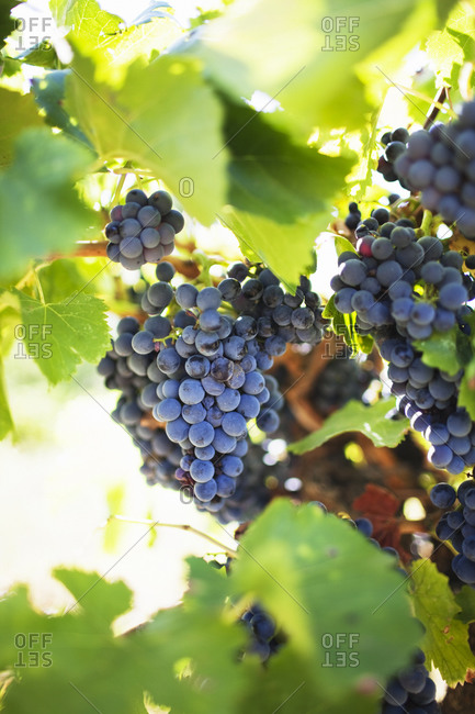 Clusters of Concord grapes