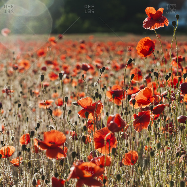 Blossoming poppies in a field