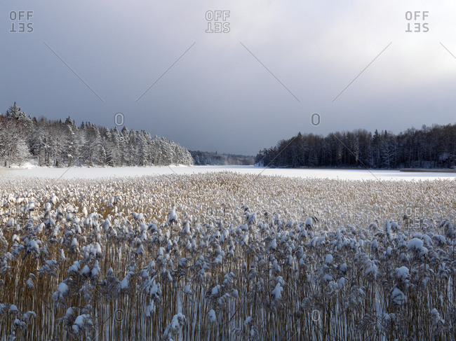 Common reeds on a snowy field