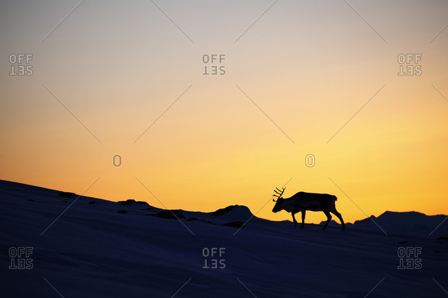 Silhouette of a reindeer in Sweden