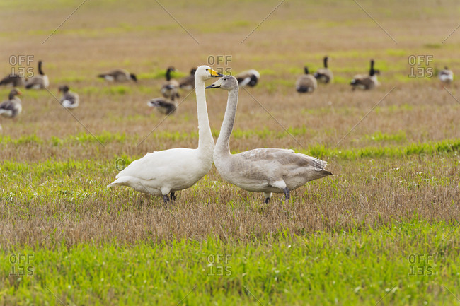 Whooper swans on a grassy field in Sweden