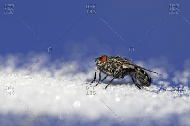 Close up of a fly on snow