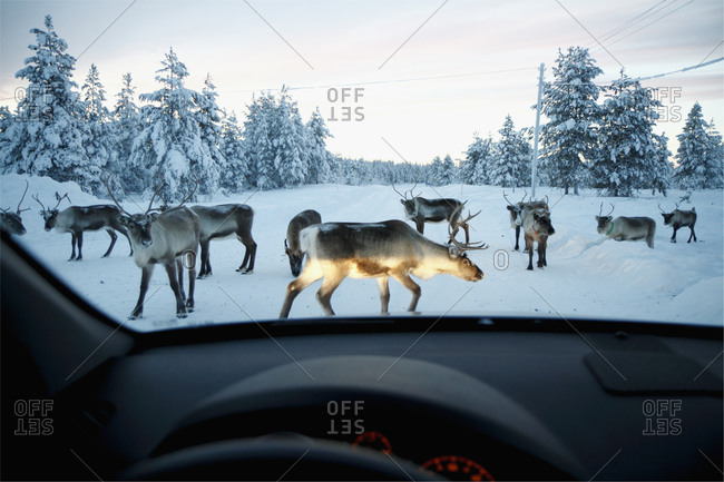 Reindeer blocking the winter road in Sweden