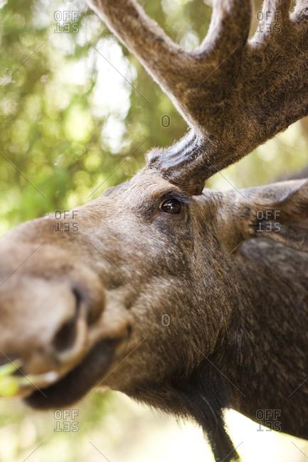 Portrait of an elk