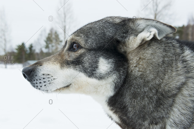 Profile of a hunting dog