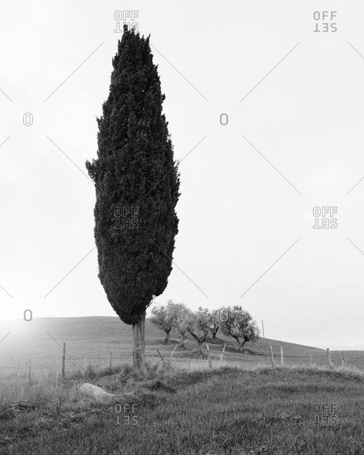 A single juniper on a hill
