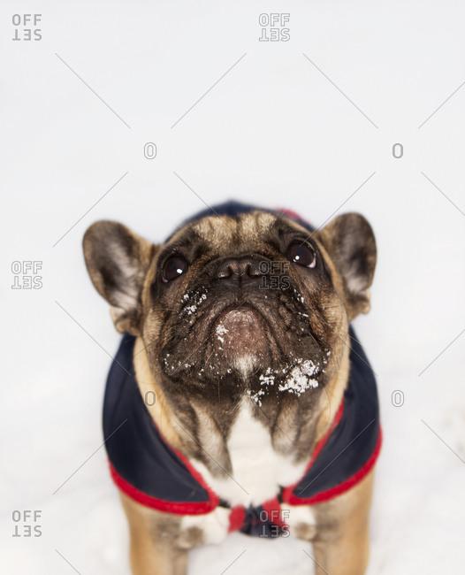Portrait of a snowy French Bulldog
