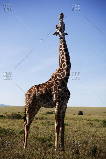 Giraffe standing in the African savannah
